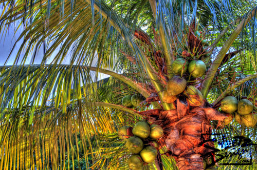 Florida Palm Tree in HDR